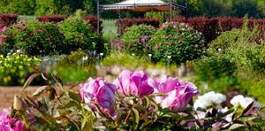 Syringa Duftpflanzen und Kräuter